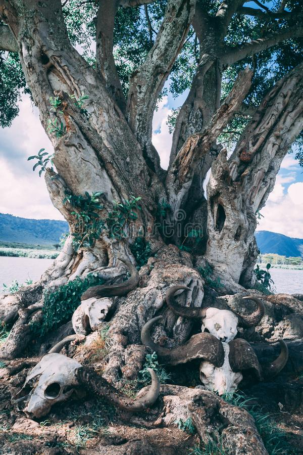Squelettes sous l'arbre en Afrique photographie stock libre de droits
