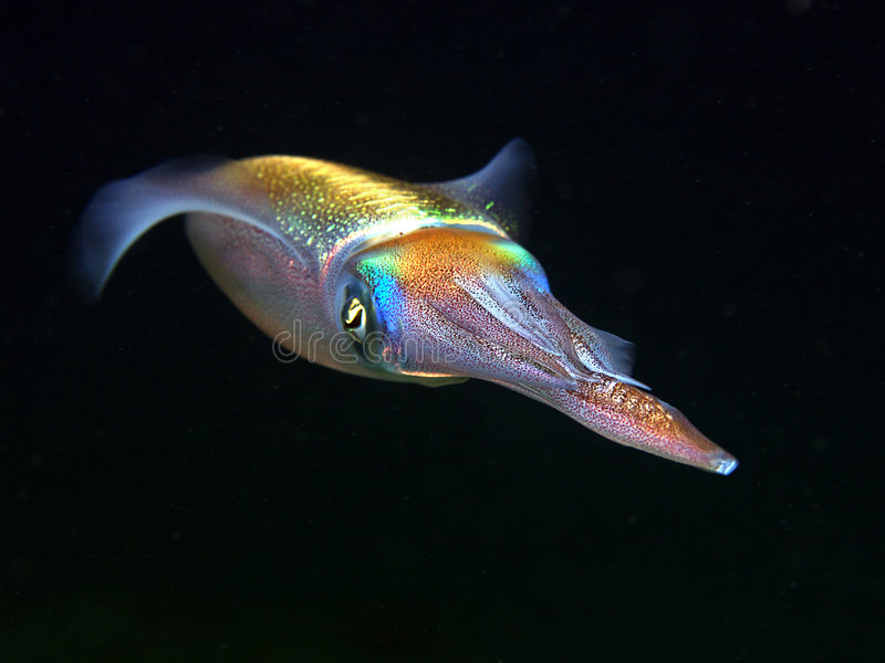 Squid. Underwater photo of an colourful squid at night stock photos