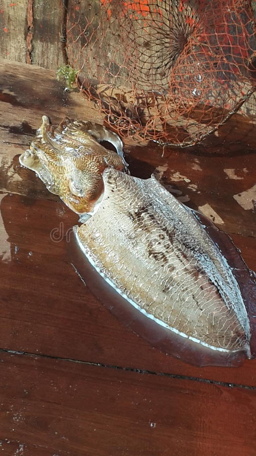 squid on boat from trat sea thailand stock image