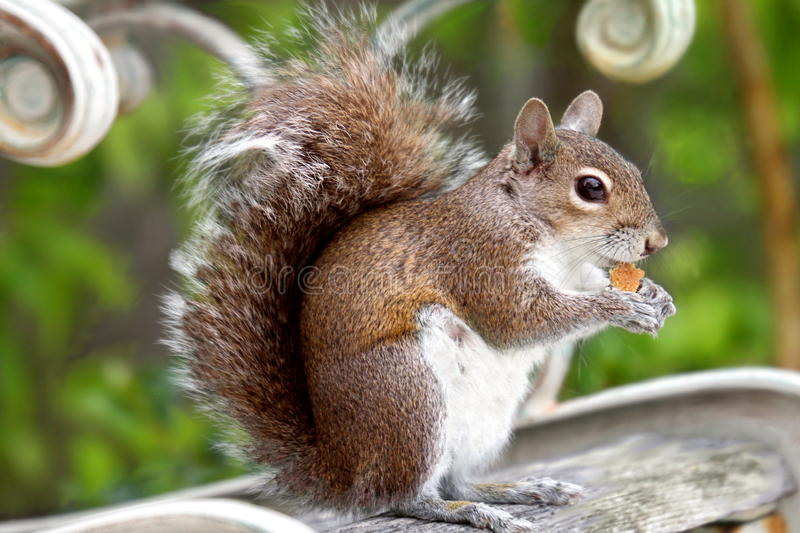 Squirel eating cookies on a garden bench stock images