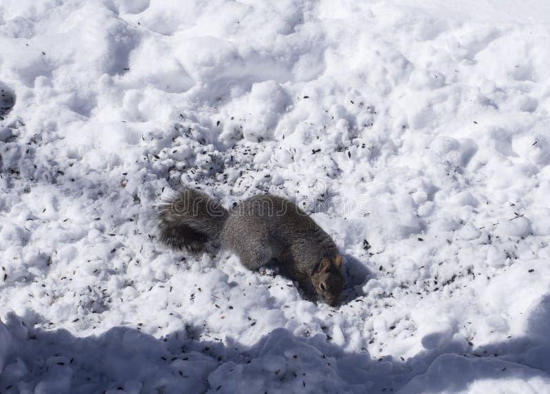 Squirel het voeden op vogelzaden in de winter stock fotografie