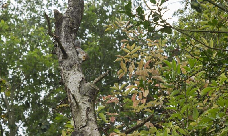 Squirell на ветви стоковое фото