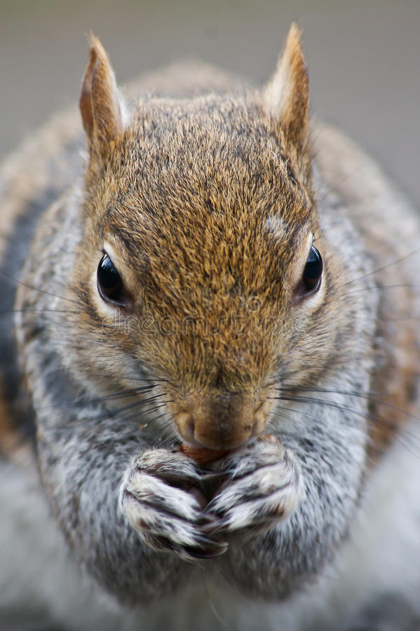 Download Squirell close up stock image. Image of rodent, wildlife - 18600745