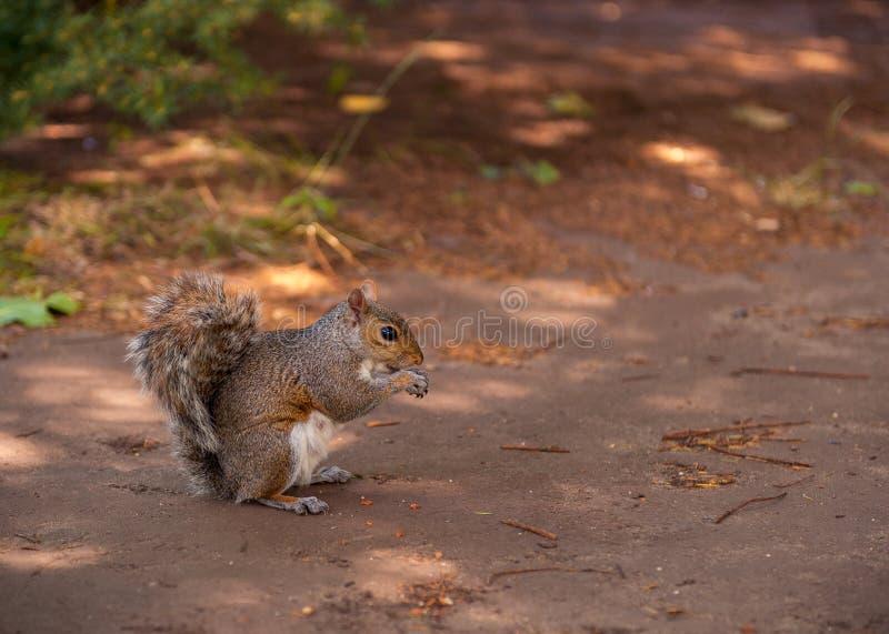 Squirell, das Nüsse isst stockfoto
