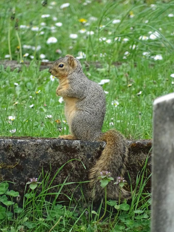 Squirell sitting in graveyard. Squirell sitting on headstone in graveyard in Eugene, OR stock image