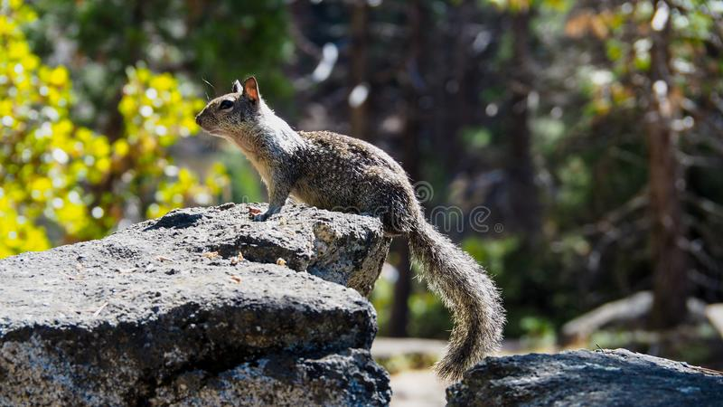 Little squirrel sitting on the rock Sciurus vulgaris. Little squirrel or chipmunk Sciurus vulgaris sitting on a stone in Yosemite National Park, California, USA stock photos