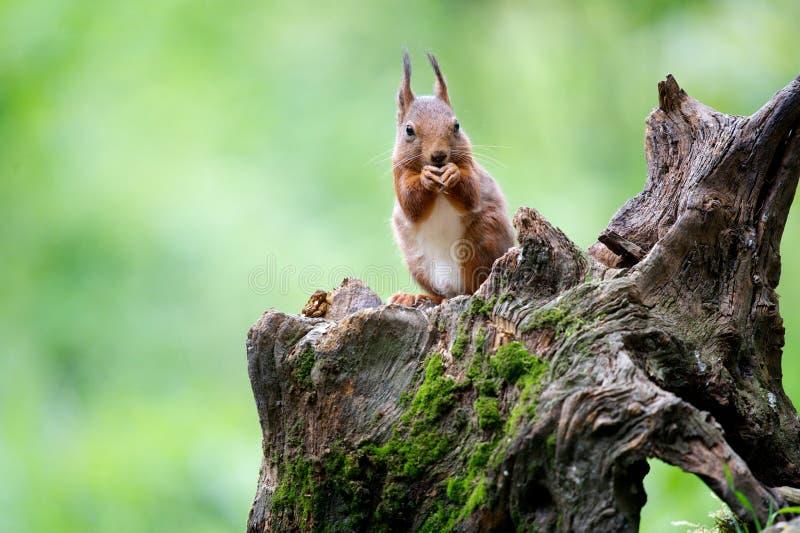 Squirl stock image