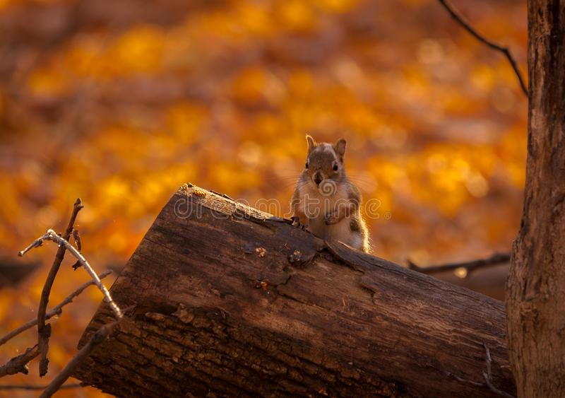 Squirl looking what`s going on. Squirrel looking what`s going on stock photography