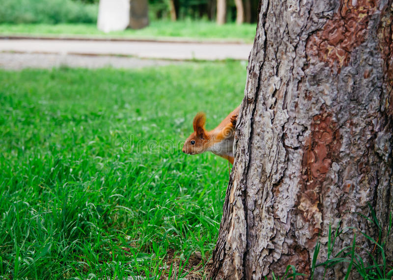 Squirre stockbilder