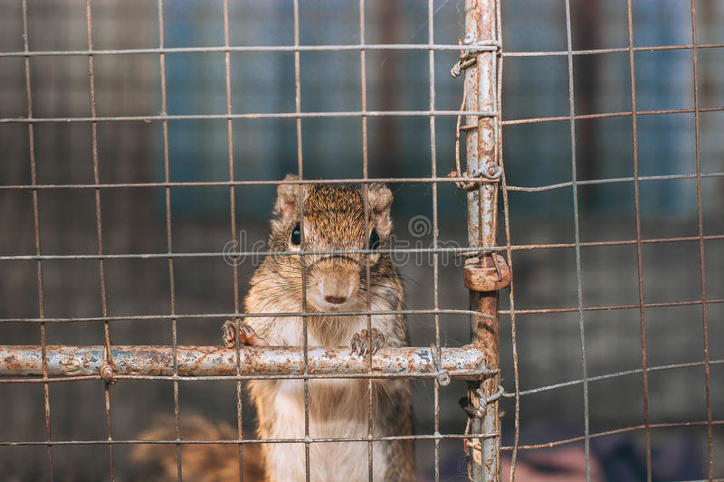 Squirre de tierra indochino foto de archivo
