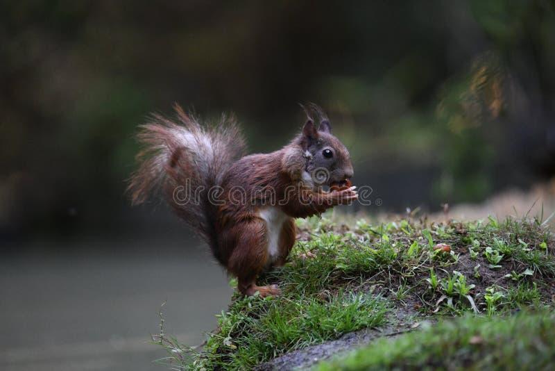 Squirrel искать для еды и нашл фундук для еды стоковое изображение