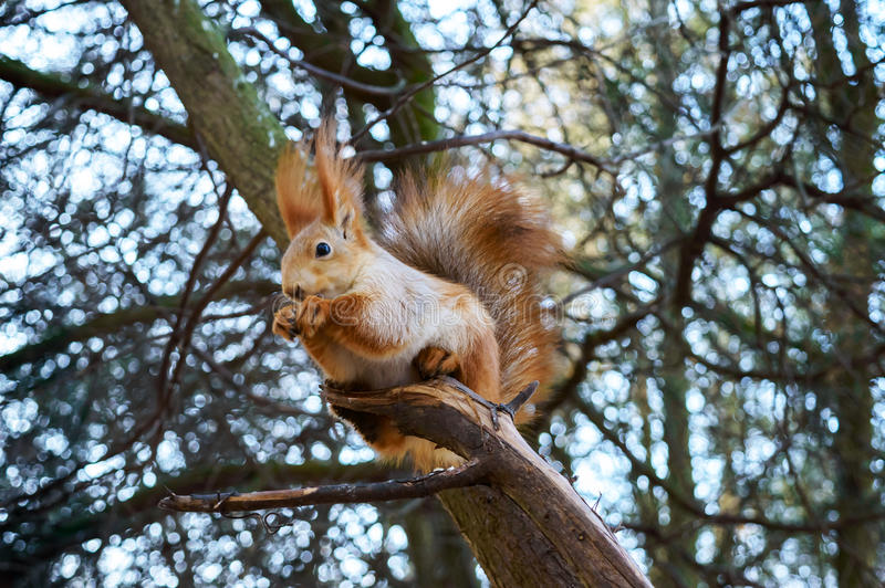 Squirrel ординарность, апельсин, сидящ в дереве и съешьте холодный сезон Зона парка Лес стоковое фото rf