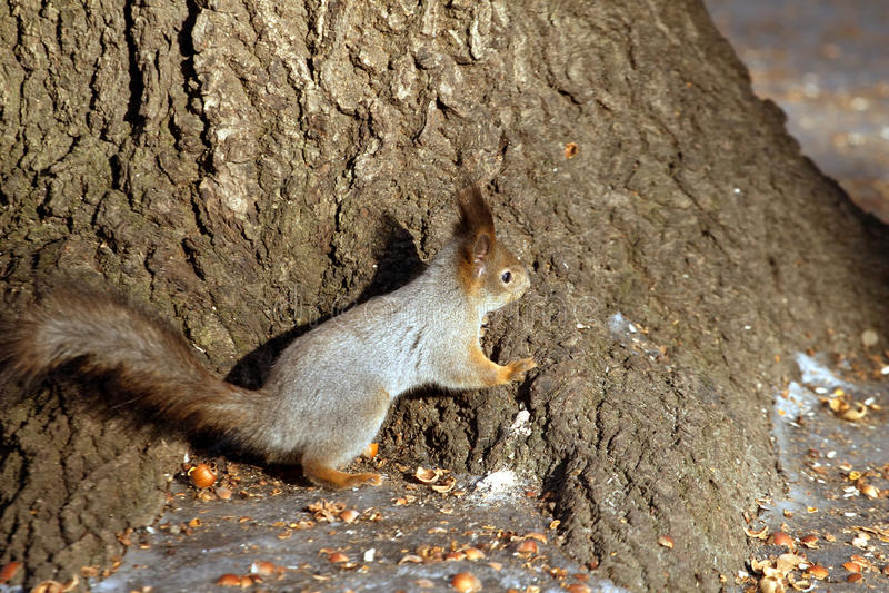 Squirrel сидеть почти дерево и раковины гаек стоковая фотография rf