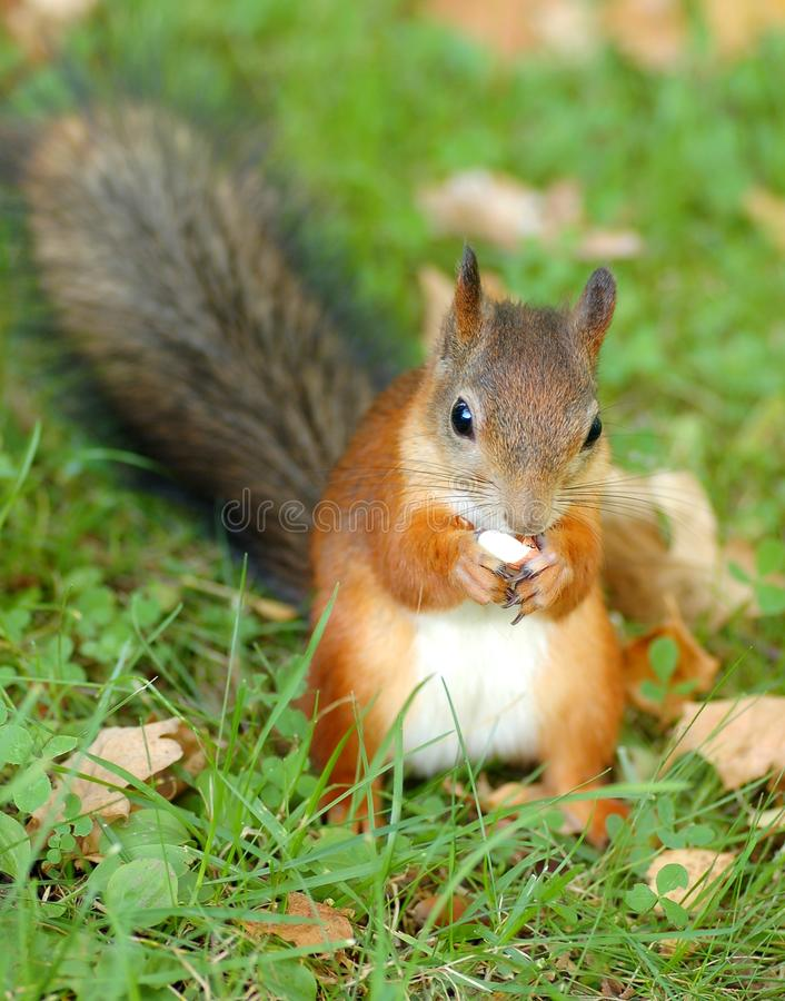 Download Squirrel stock photo. Image of forest, zoology, wild - 11083556