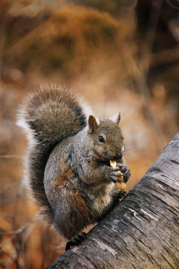 Free Squirrel Stock Images - 13421514