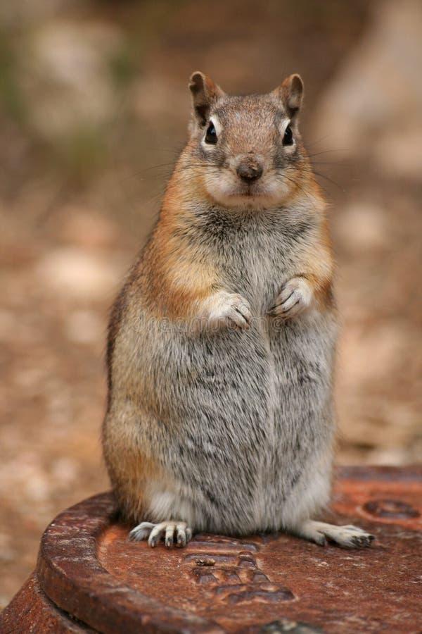 Free Squirrel Royalty Free Stock Photos - 15447948