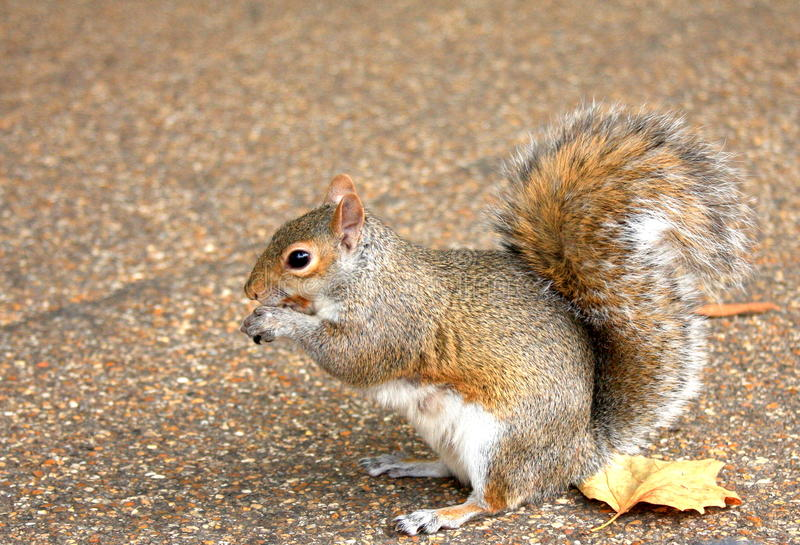 Download Squirrel stock photo. Image of squirrel, eating, outdoors - 15908540