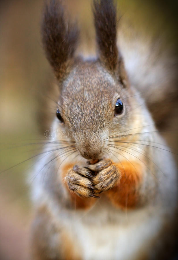 Free Squirrel Royalty Free Stock Photo - 17754445