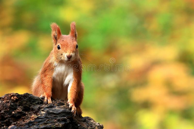 Download Squirrel stock image. Image of side, wildlife, eurasian - 17776927