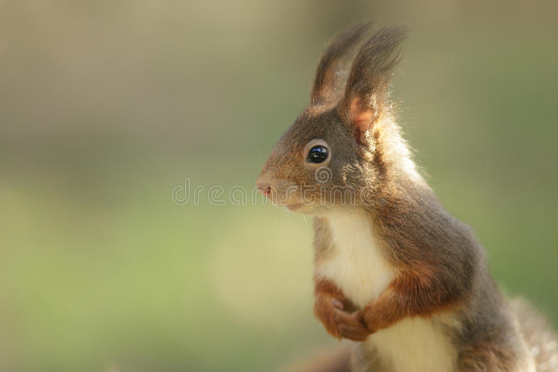 Download Squirrel stock image. Image of squirrel, standing, mammal - 20608029