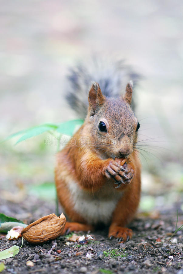Download Squirrel stock photo. Image of green, forest, downy, creature - 20803772