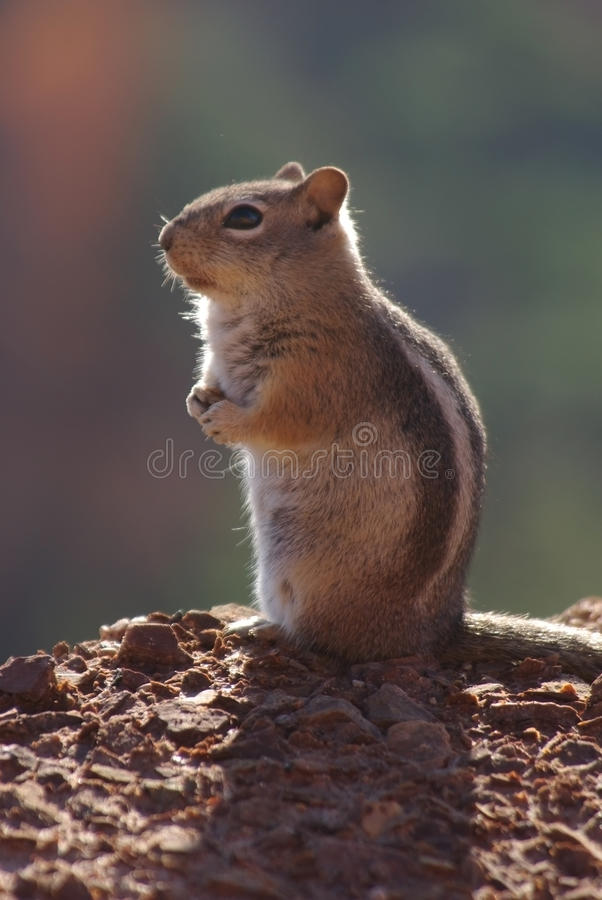 Download A squirrel stock image. Image of cute, canyon, life, national - 21090707