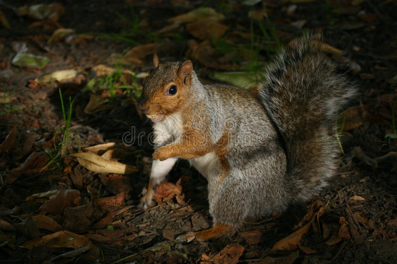 Download Squirrel stock image. Image of america, green, american - 212499