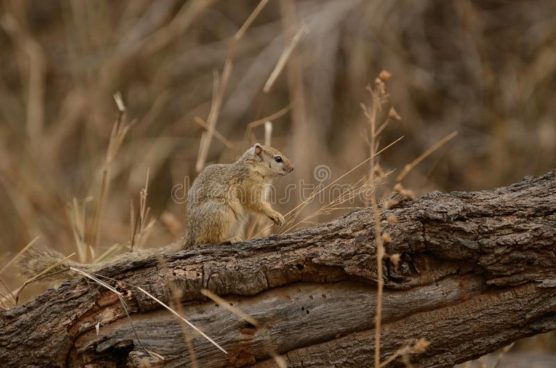 Squirrel. This little rodent i can photograph in the Kruger National-Park in South Africa royalty free stock images