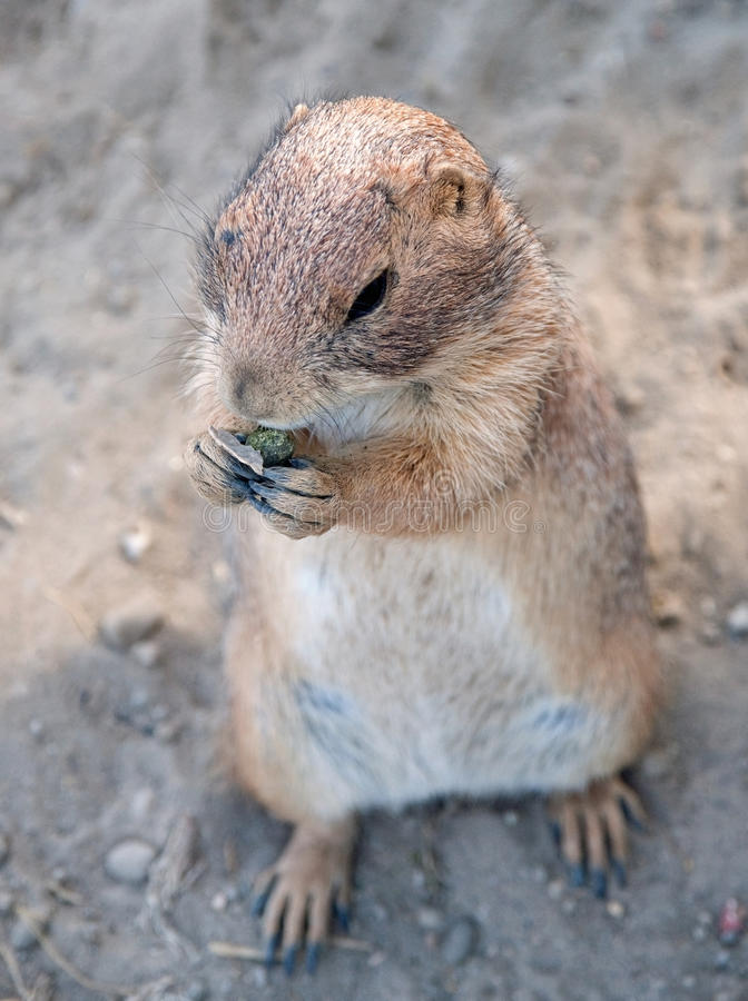 Download Squirrel stock image. Image of mammals, wildlife, tourism - 25910643
