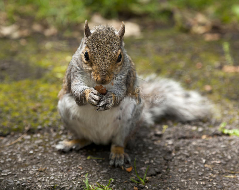Download Squirrel stock image. Image of eating, furry, hair, food - 26106949