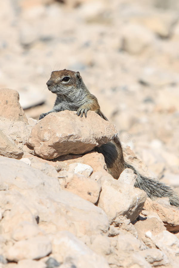 Download Squirrel stock photo. Image of rodent, small, nature - 26522486