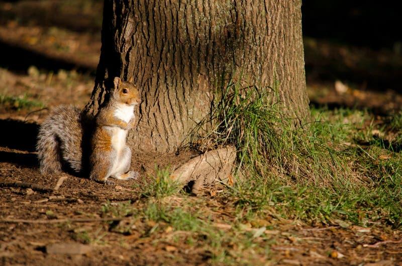 Download Squirrel stock image. Image of brown, sciurus, furry - 26641581