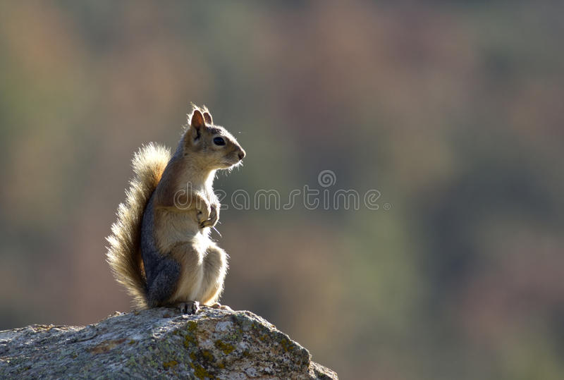 Download Squirrel stock image. Image of rodent, supper, acorn - 26734099