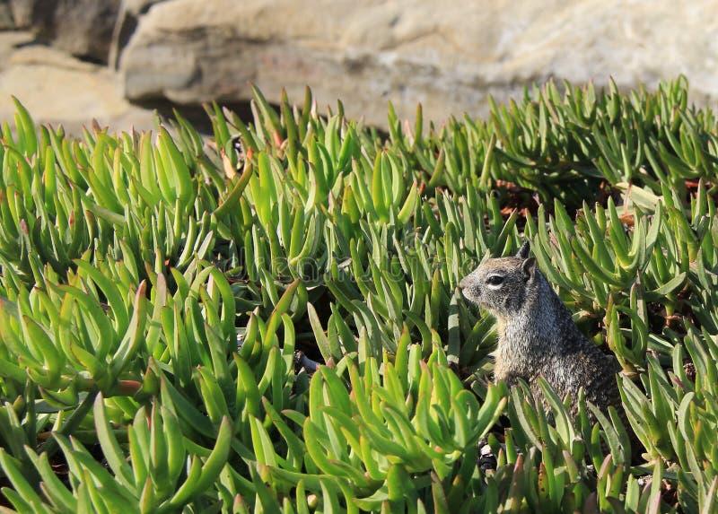 Download Squirrel stock image. Image of burrow, ground, animal - 27499179