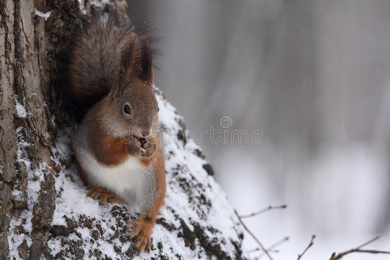 The squirrel. stock image