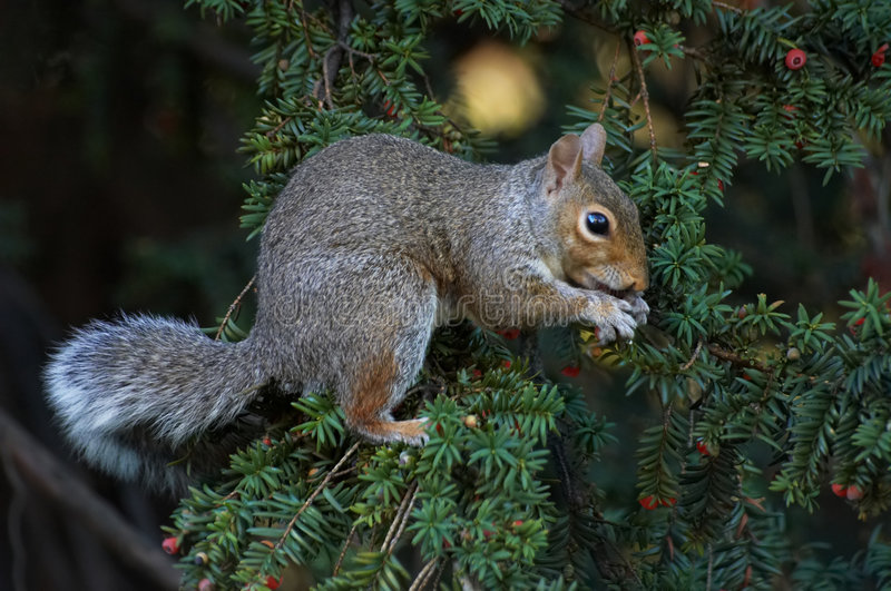 Download Squirrel stock photo. Image of berry, furry, tree, berries - 317052