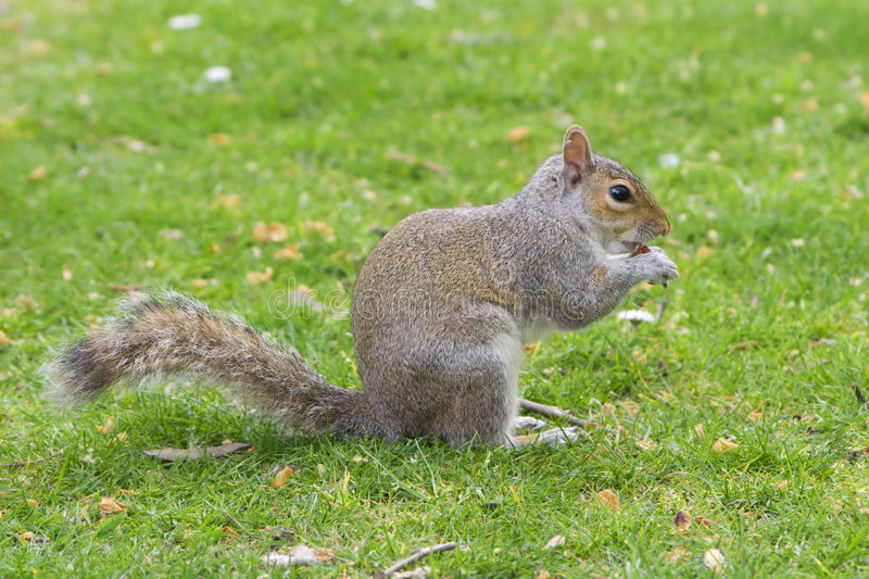 Download Squirrel stock photo. Image of leaves, animal, rodent - 3923654