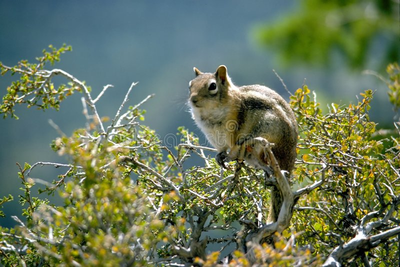 Download Squirrel stock photo. Image of squirrel, blue, face, facing - 41848