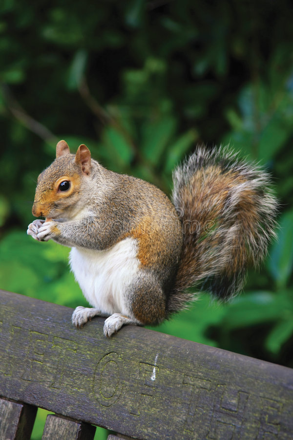 Free Squirrel Royalty Free Stock Photo - 5566325