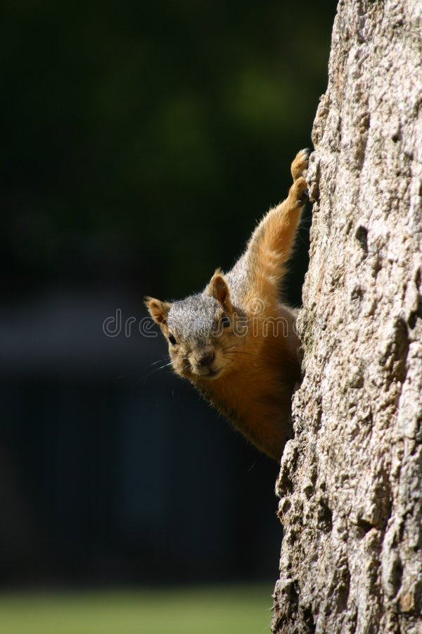 Download Squirrel stock image. Image of curious, curiosity, rodent - 605897