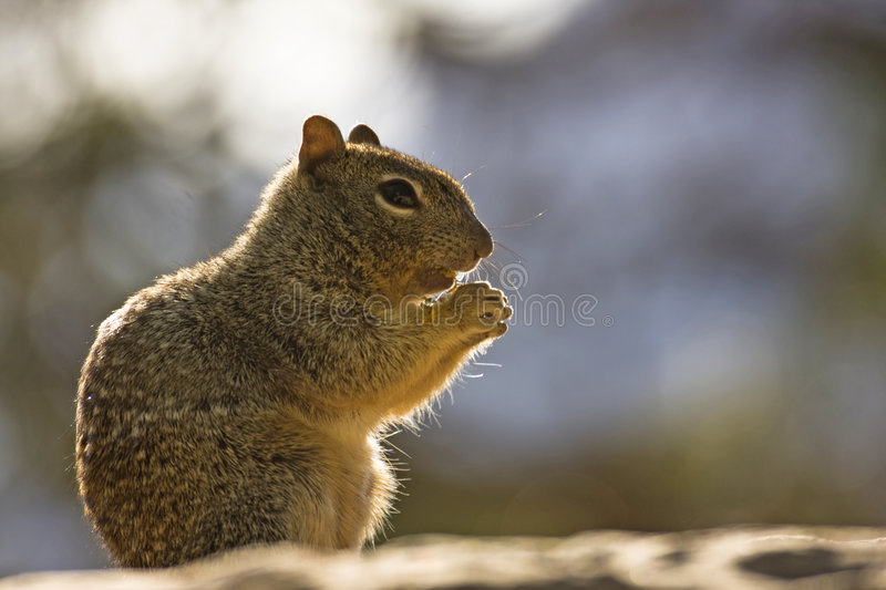 Download Squirrel stock image. Image of nature, wildlife, tail - 6980517