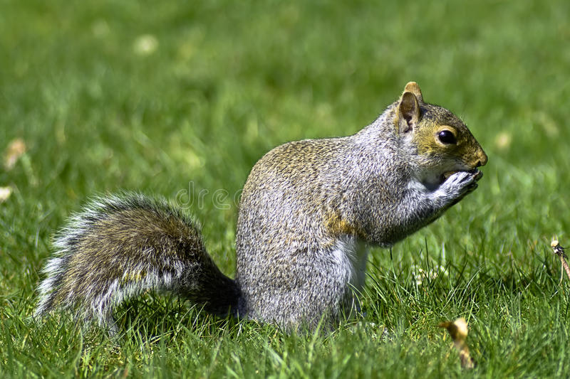 Squirrel. Close up of a wild squirrel eating a peanut royalty free stock image