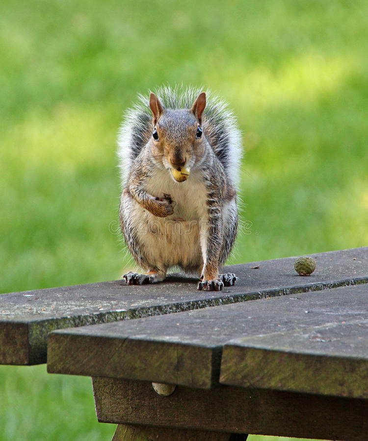 Squirrel with acorn. Photo of an autumn squirrel on park bench eating a tasty acorn! photo taken 25th sept 2015 royalty free stock images