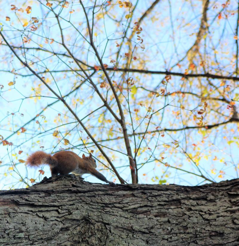 Squirrel on the Hunt royalty free stock photo