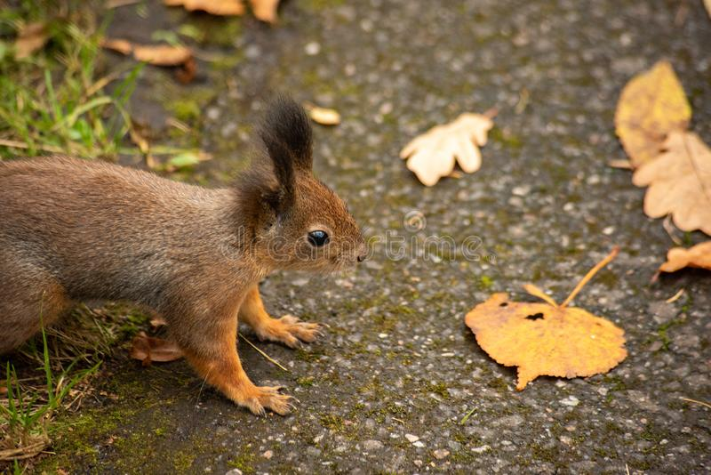 Squirrel on an asphalt road in the park. Near is close, dig, autumn, leaf, animal, cute, fur, brown, mammal, wildlife, nature, outdoor, rodent, one, green royalty free stock image
