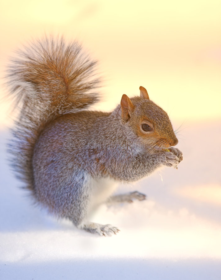 Free Squirrel - At Sunset Royalty Free Stock Photo - 2177735