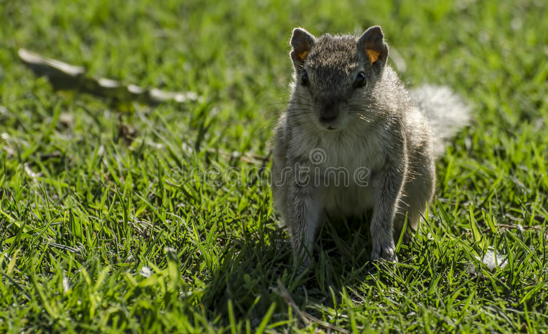 Squirrel. An attentive/vigilant sqirrel looking for food and cautious of danger royalty free stock images