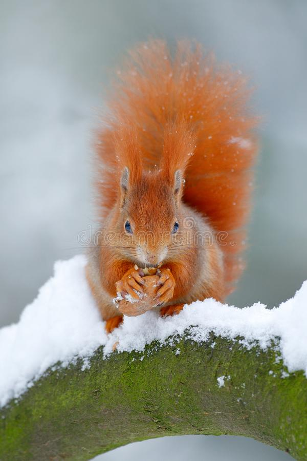 Squirrel with big orange tail. Feeding scene on the tree. Cute orange red squirrel eats a nut in winter scene with snow, Czech rep.  royalty free stock images