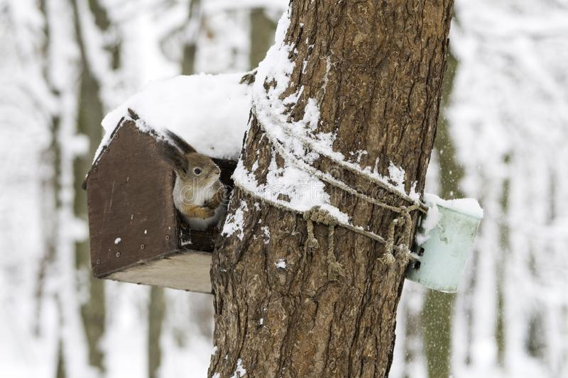 Squirrel in the winter forest in a bird feeder on the tree. Red squirrel Eurasian red squirrel , Sciurus vulgaris in the winter forest in a bird feeder on the stock photos
