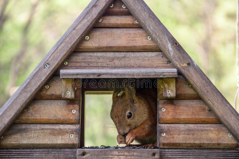 Squirrel in the birdhouse stock photo